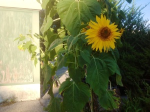 Sunflower at old shed