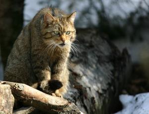 Felis silvestris