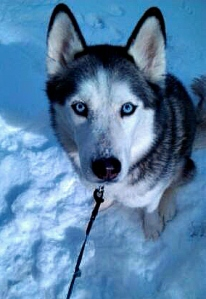 "According to the American Kennel Club, ""the Siberian Husky is known for its amazing endurance and willingness to work."""