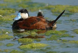Ruddy duck_