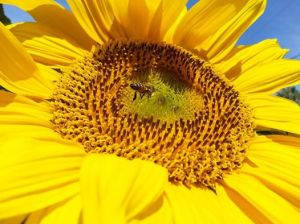 Karen Pearlman - bee on sunflower