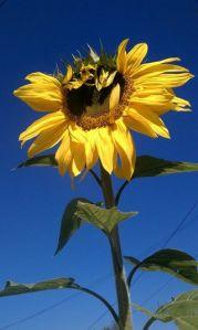Karen Pearlman - windblown sunflower